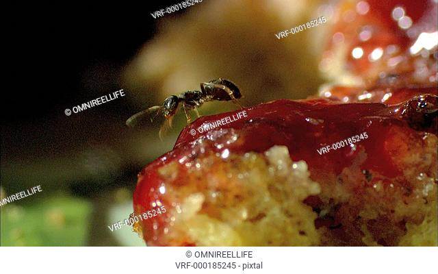 Whitefooted Garden Ant walking on jam on toast