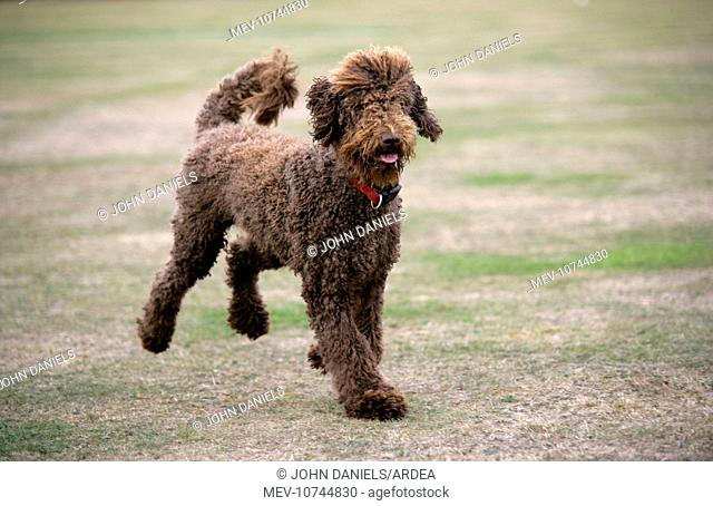 Chocolate labradoodle running in field
