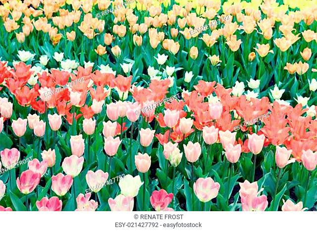 white tulips on flowerbed