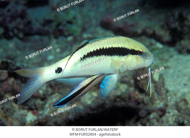 Dash-and-Dot Goatfish with Cleaner Wrasse, Parupeneus barberinus, Labroides dimidiatus, Sharm el Sheikh, Sinai, Red Sea, Egypt