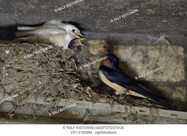 Barn Swallow ( Hirundo rustica ), adult perched next to its chicks in nest, two of them with white plumage, leucistic, leucism, Europe