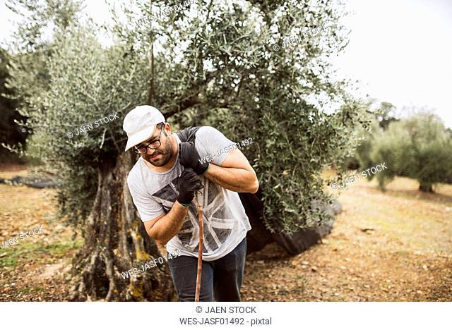Spain, man pulling net in olive grove