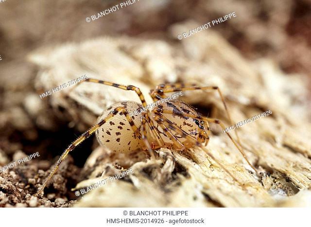 France, Paris, Araneae, Scytodidae, Spitting Spider (Scytodes thoracica)