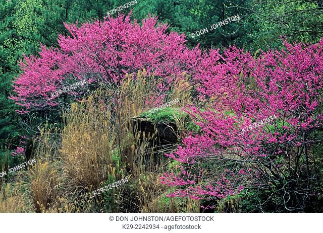 Redbud (Cercis canadensis) Flowering tree and spring foliage, Natural Bridges State Park, KY, USA
