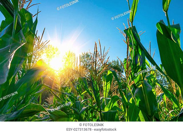 Green corn field on a sunny morning