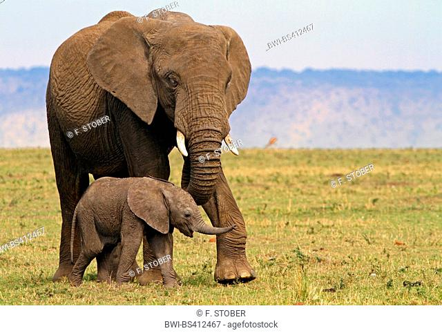 African elephant (Loxodonta africana), female with elephant calf, Kenya, Masai Mara National Park