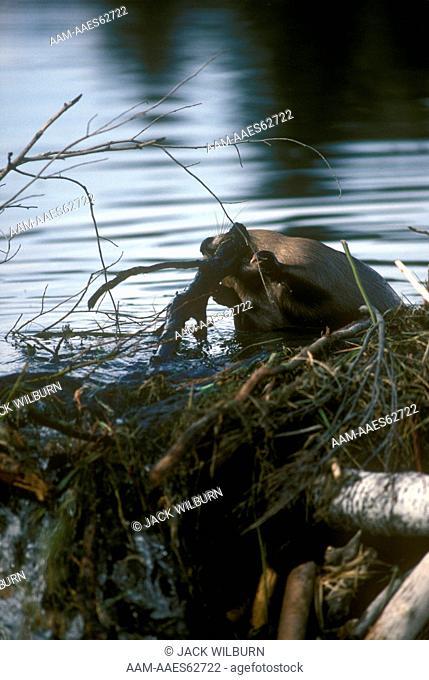 Beaver repairing dam (Castor canadensis) Grand Teton Nat. Park