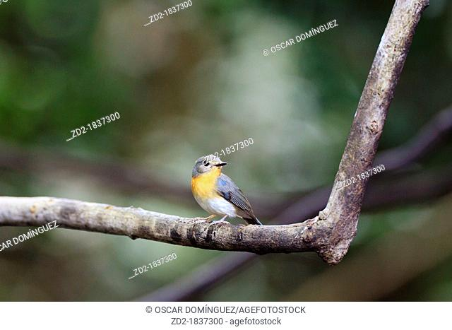 Tickell's Blue Flycatcher Cyornis tickelliae female perched on branch  Kaeng Krachan National Park  Thailand