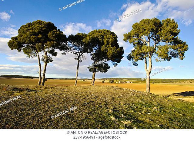 Pines (Pinus halepensis). Almansa. Albacete. Spain