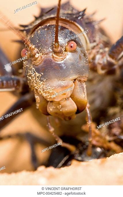 Koringkriek Armored Bush Cricket (Acanthoplus armativentris) portrait, Central Kalahari Game Reserve, Botswana