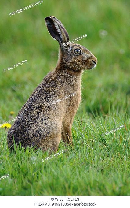 European hare, Lepus europaeus, Lower Saxony, Germany / Feldhase, Lepus europaeus, Niedersachsen, Deutschland