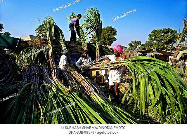 farmers arranging their sugarcane stacks at pushkar fair , Pushkar , Rajasthan , India