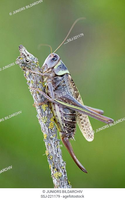 Wart-biter (Decticus verrucivorus). Female with ovipositor on a twig. Danmark