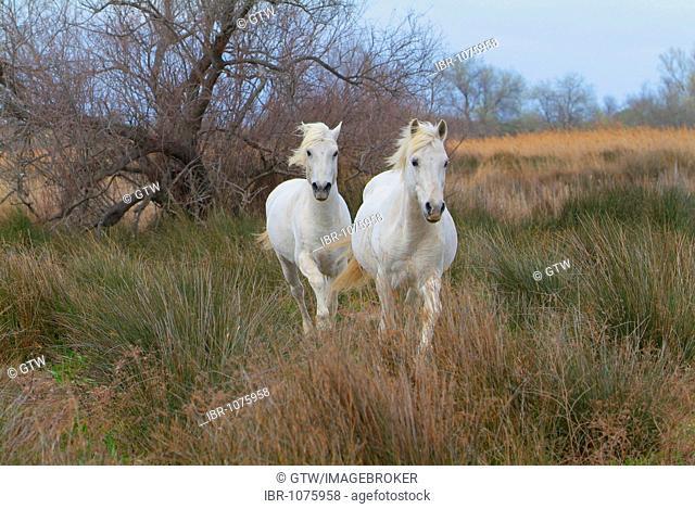 Camargue Horses, Camargue, Bouches du Rhône, France