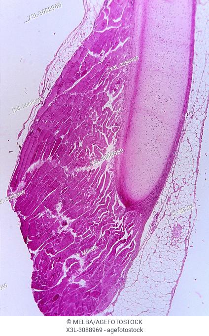 Hyaline cartilage. Cartilaginous tissue. 9x
