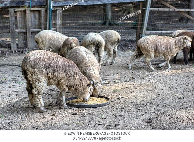 Sheep eating grain-mixture from plastic lids, Mechanicsville, Maryland