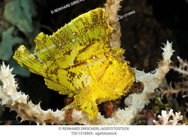 Yellow Leaf Fish, Taenianotus triacanthus, Alam Batu, Bali, Indonesia