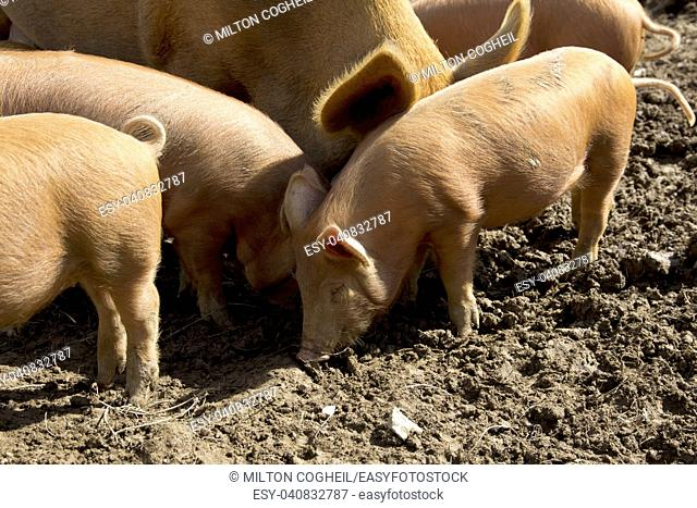 A litter of Tamworth piglets and a sow in a muddy field