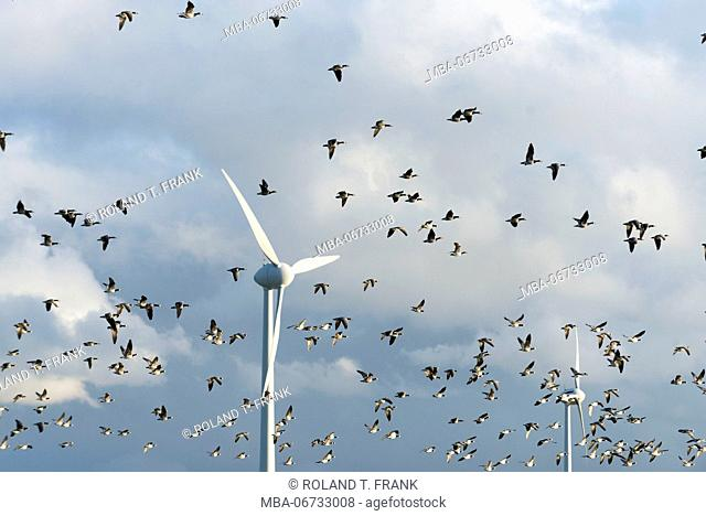 Germany, Lower Saxony, Krummhörn, wind power station, barnacle goose (Branta leucopsis)
