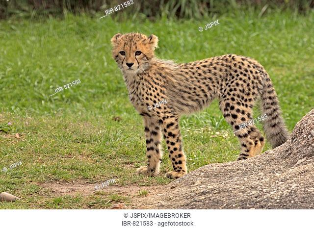 Cheetah (Acinonyx jubatus), young animal, Sabi Sand Game Reserve, Kruger National Park, South Africa