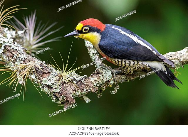 Yellow-fronted Woodpecker (Melanerpes flavifrons) perched on a branch in the Atlantic rainforest of southeast Brazil