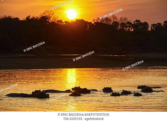 Hippopotamus at water surface in Luangwa river at sunset (Hippopotamus amphibius) South Luangwa National Park, Zambia
