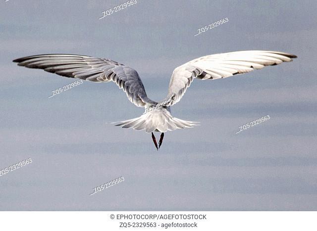 Gulls or seagulls are seabirds of the family Laridae in the sub-order Lari, India
