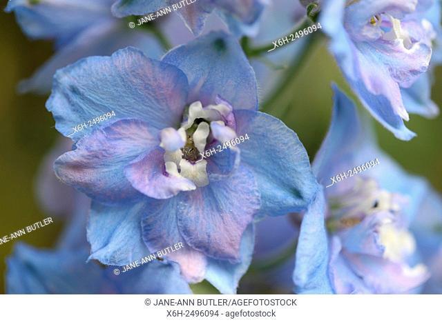 exquisite lavender coloured delphinium elatum - larkspur