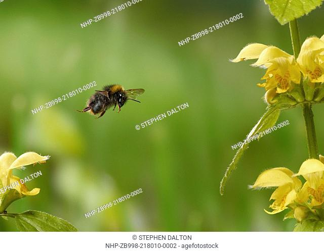 BUFF-TAILED BUMBLE BEE (Bombus terrestris), worker - flying around Yellow-dead nettle