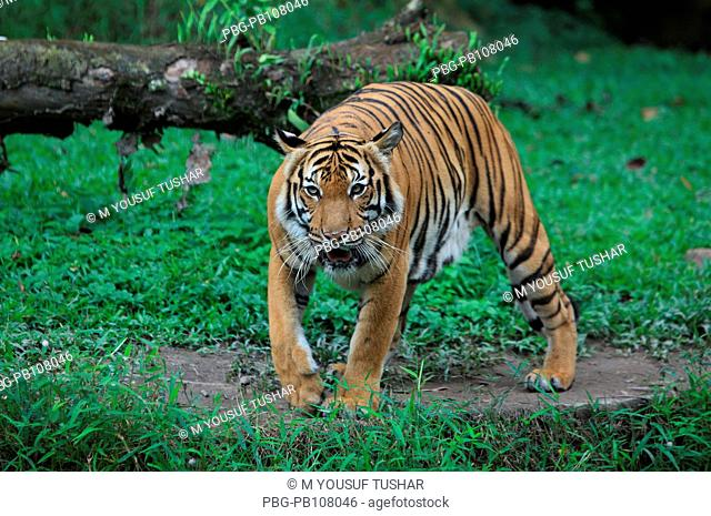 Royel Bengal Tiger at Zoo Negara Malaysia It is a national zoological park of Malaysia Kuala Lumpur, Malaysia July 2010