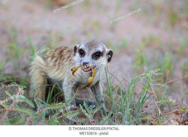 Suricate (Suricata suricatta). Also called Meerkat. Feeding on a scorpion. During the rainy season with green grass. Kalahari Desert