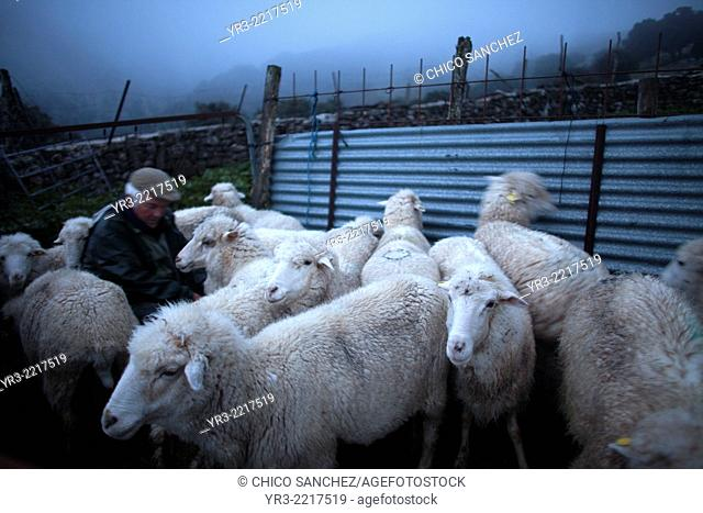 A shepherd milks sheep by hand in Villaluenga del Rosario, in the Sierra de Grazalema National Park, Cadiz province, Andalusia, Spain