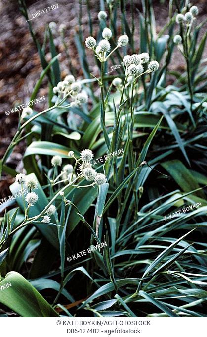 Button Snake-root (Eryngium yuccifolium)