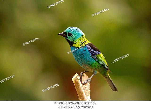 Green-headed Tanager, Tangara seledon, Emberizidae, Guarapari, Esp¡rito Santo, Brazil