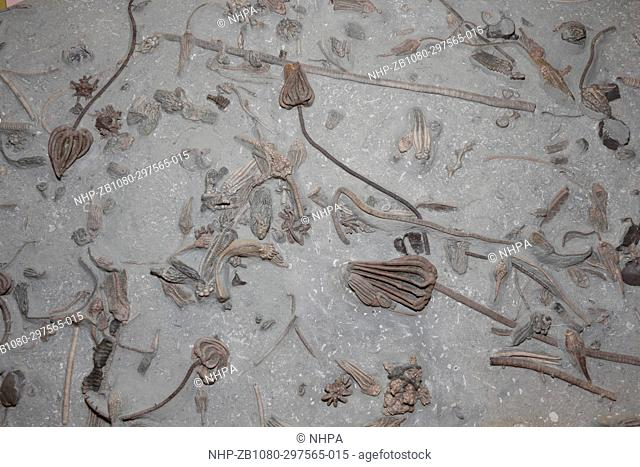 Fossil Crinoids, 350 million years old from the early Carbinoferous Period, Indiana