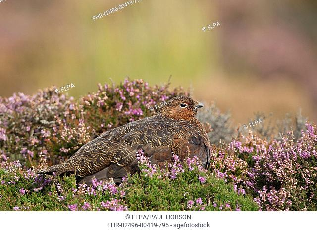 Red Grouse Lagopus lagopus scoticus adult male, sitting amongst flowering heather on moorland, Peak District, Derbyshire, England, september