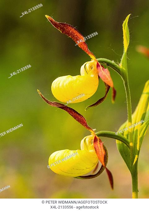 ladys-slipper, cypripedium calceolus, Austria, Lower Austria, Vienna area, Bisamberg