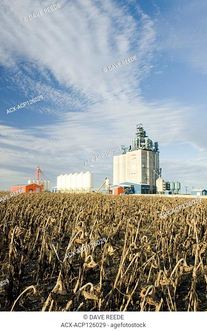 mature, sunflower field with grain elevator in the background, near Winnipeg, Manitoba, Canada