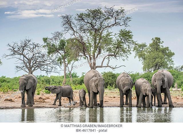 African elephants (Loxodonta africana), herd with young animals drinking at a waterhole, Savuti, Chobe National Park, Chobe District, Botswana