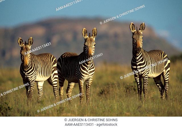 Cape Mountain Zebras (Equus z. zebra), Mountain Zebra NP, South Africa