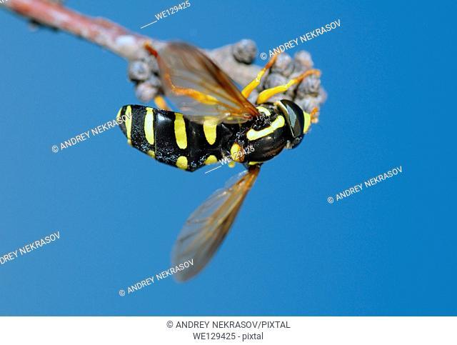 Hoverfly (Spilomyia diophthalma), Ukraine, Eastern Europe