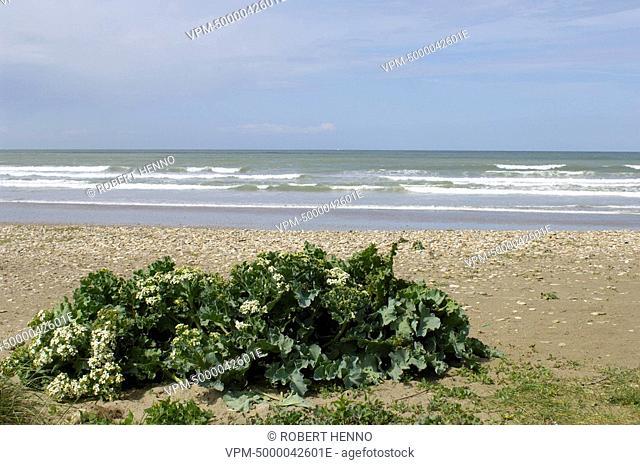 CRAMBE MARITIMASEA KALE - SEA-KALEON THE BEACH CLOSE TO DUNES DE LA SLACKPNR DES CAPS ET MARAIS D'OPALE - FRANCE