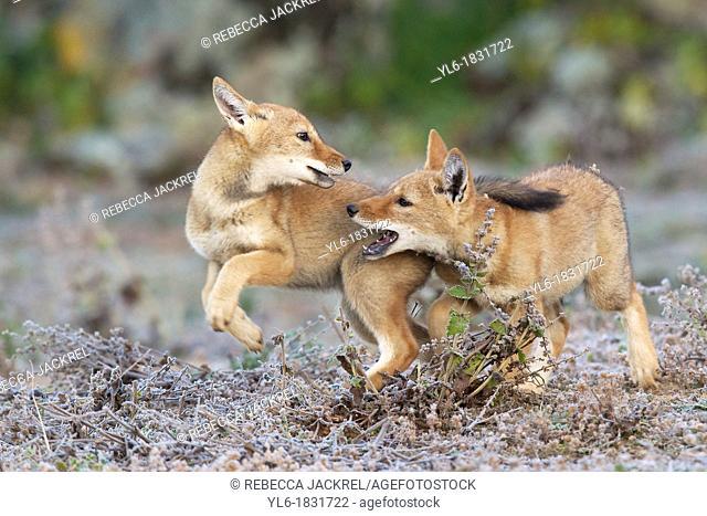Game of chase between Ethiopian wolf siblings