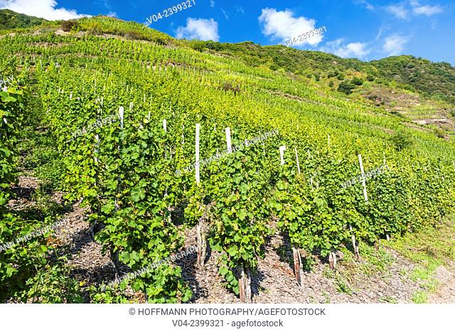 Vineyards of the Calmont, Europe's steepest vineyard location, Bremm, Rhineland-Palatinate, Germany, Europe