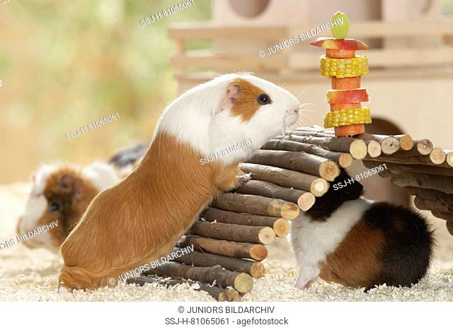 Smooth-haired Guinea Pig on its way over a wooden bridge to a vegetable skewer. Next to it two Rex Guinea Pigs. Germany