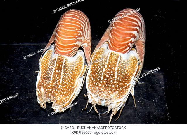 a pair of pearly nautilus shells which have been trapped in deep water and are being kept alive in a tub of sea water
