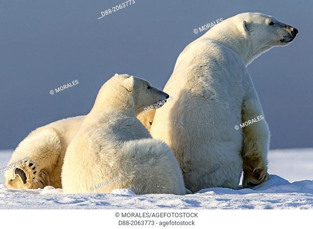 United States , Alaska , Arctic National Wildlife Refuge , Kaktovik , Polar Bear( Ursus maritimus ) , female adult with 2 cubs along a barrier island outside...