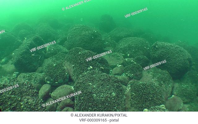 Underwater landscape: the camera moves over stones covered with mussels on a background of green water