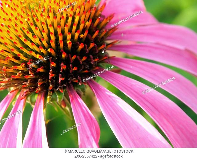 Purple coneflowers (Echinacea angustifolia), detail. Pisón de Fondón organic farmhouse. Villandás village. Grado council
