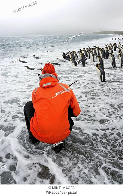 Person taking pictures of a small colony of King Penguins on a beach in South Georgia